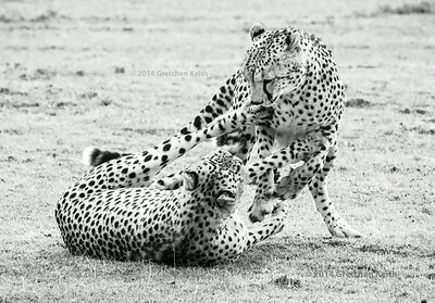Cheetah brothers playing - 8-15 - glk-5899 pse fb BW w c