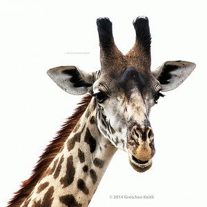 Giraffe close up - glk-6429 pse fb w c