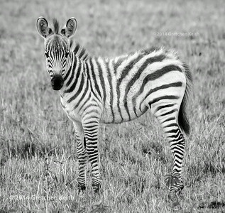 Young zebra - glk-5863 fb w c