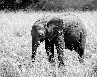 Young Elephant in Grass - 8by10 crop - 6126 glk BW fb w c