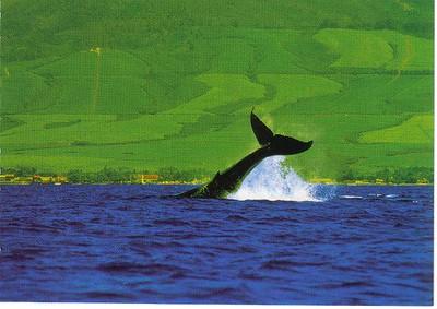 03_ Maui_Hunpback_Whale