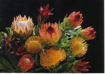 18_Maui_Proteas_of_Hawai_Lasts_weeks_after_picked