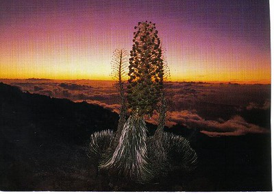 21_M_Silversword_Grows_4_20yr_for_one_9ft_flower