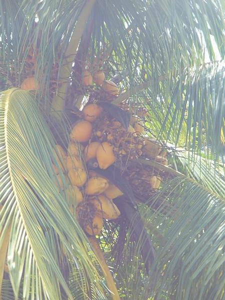 029_Coconut_Tree