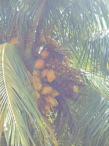 029_Coconut_Tree