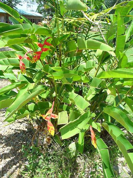 036_Belize_Bird_of_Paradise