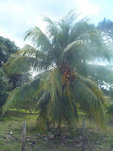 028_Coconut_Tree