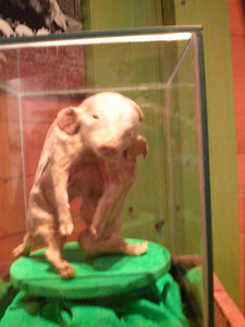 016_Orlando_Rypley's Believe It or Not_A 3 legs pork