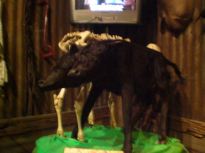 019_Orlando_Rypley's Believe It or Not_the 2 heads cow