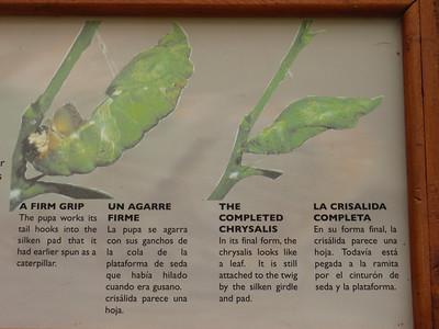 030_La Paz Waterfall Gardens  Butterflies