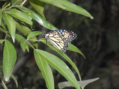 023_La Paz Waterfall Gardens  Butterflies