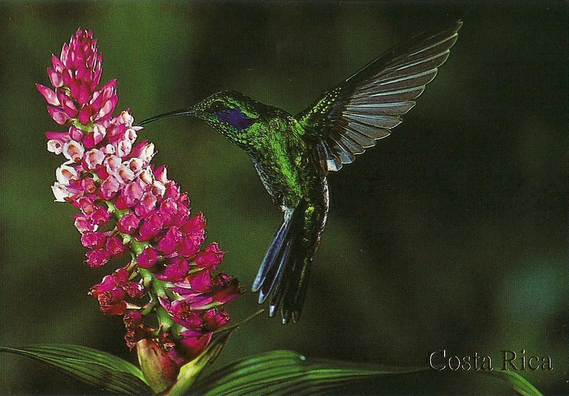 041_Hummingbird  Green-Violetear visiting an orchild