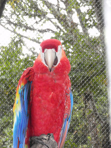 037_Ara Macau  Lapas, Scarlet Macaws, Perroquets
