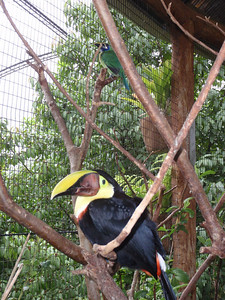 034_La Paz Waterfall Gardens  Toucan  Keel-Billed Toucan