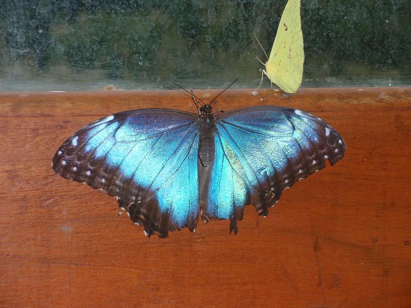 019_La Paz Waterfall Gardens  Blue Morpho Butterfly