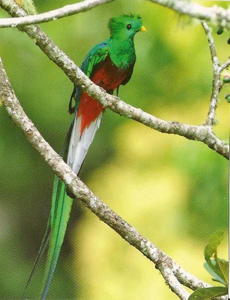 003_Quetzal  36 cm