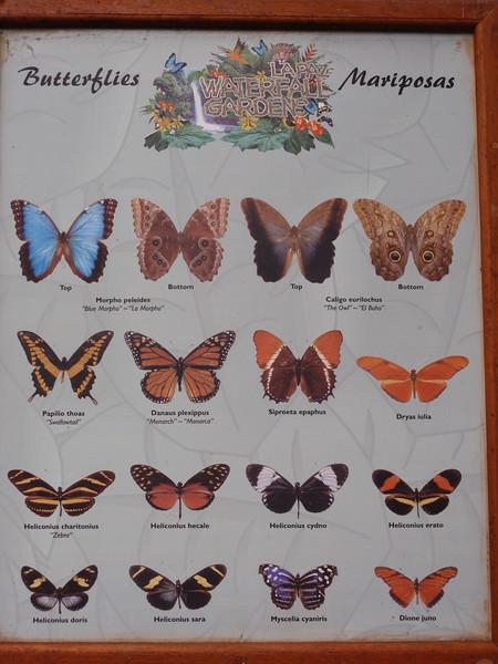 016_La Paz Waterfall Gardens  Butterflies