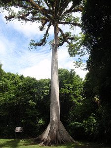 523 Ceiba  Guatemala National Tree  70 m high and 2 m in diameter