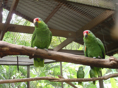 15  Copan  Macaw Mountain  Yellow Crowned Amazon