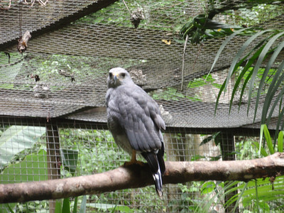 17  Copan  Macaw Mountain  The Grey Hawk