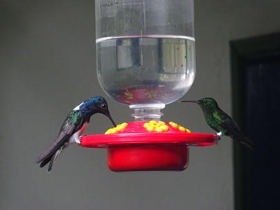 260_Jardin Botanico del Quindio  Hummingbirds