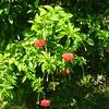 165_L'Ile Royale  Fleurs Tropicales