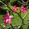 138_L'Ile Royale  Fleurs Tropicales