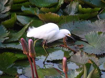 014_Castries  Pointe Séraphine  Egret Bird