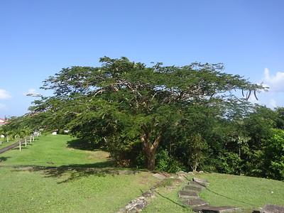 027_Castries  Morne Fortuné Historic Area  Flamboyant Tree