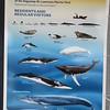 388_Tadoussac  Croisière aux Baleines  Gros Bateau  Les Espèces de Baleines