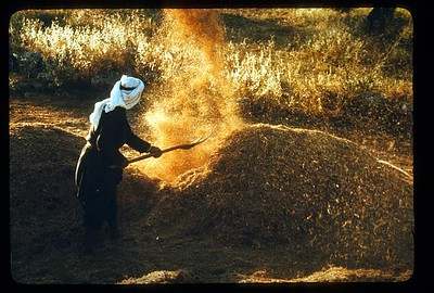 36_Arabs_of_The_Holy_Land_Battant_les_grains