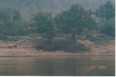 17_Luang_Pradang_Mekong_River_Tree_Roots