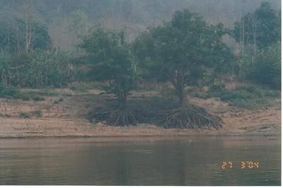 17_Luang_Pradang_Mekong_River_Tree_Roots