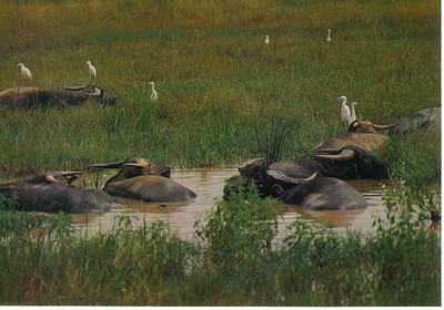 07_Daily_Life_tork_helps_buffals_make_hygiene