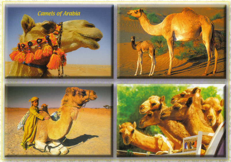 002_Kuwait_Camels_of_Arabia