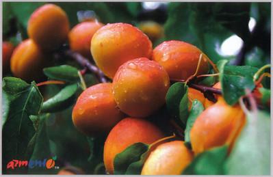 009_Armenian_Ripe_apricots