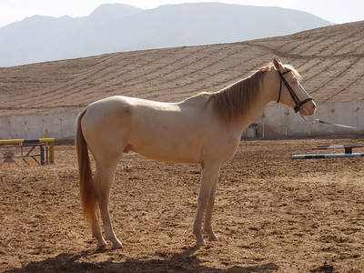 126_Akhal-Tekke horse  Long, slender necks, long legs and narrow chests