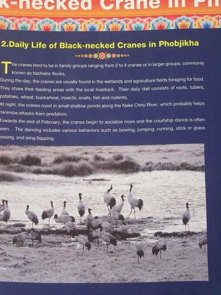 373_Phobjikha Valley  Black-Necked Crane Visitor Center  Daily Life of Black-Necked Cranes in Phobjikha