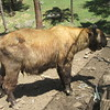 155_Motithang Takin Preserve  Takin, Bhutan's National Animal  A cow body with a goat head  A large animal, 1000kg