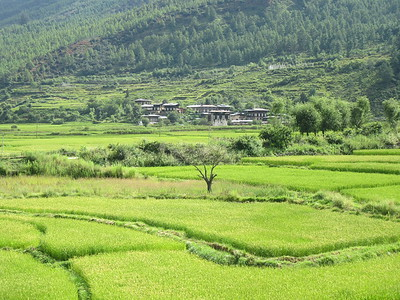026_Paro Valley  Terraced paddy fields  A Bountiful Harvest