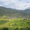 237_Punakha Valley  Rice fields  The low altitude allows two rice crops a year, and oranges and bananas are in abundance