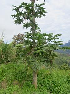 008_Kota Kinabalu to Mount Kinabalu  Kinabalu means Chinese Widow  Papaya Tree
