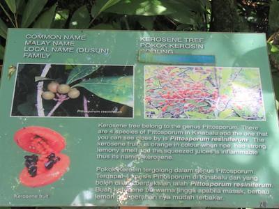 027_Kinabalu National Park  Botanical Garden  Kerosene Tree