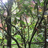 024_Kinabalu National Park  Botanical Garden  Pitcher-Plant  2 of 6