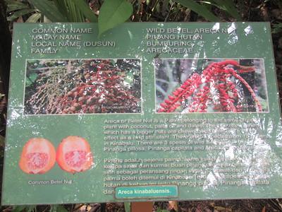 023_Kinabalu National Park  Botanical Garden  Wild Betel Nut