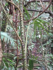 022_Kinabalu National Park  Botanical Garden  Rattan  2 of 2