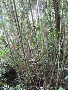 016_Kinabalu National Park  Botanical Garden  Bamboo  2 of 2