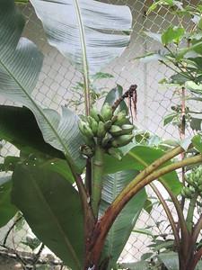 018_Kinabalu National Park  Botanical Garden  Wild Bananas  2 of 2
