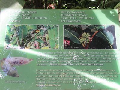 017_Kinabalu National Park  Botanical Garden  Wild Bananas  1 of 2