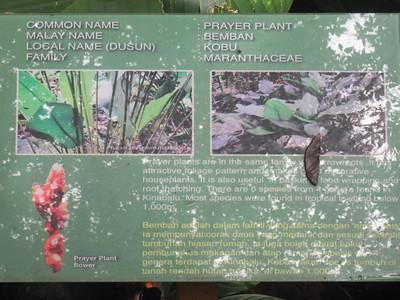 019_Kinabalu National Park  Botanical Garden  Prayer Plant Flower  1 of 2
